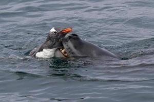 foca-leopardo que pega o pinguim-gentoo
