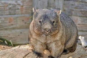 marsupial foto