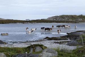 vacas, vacas foto