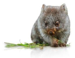 pequeno wombat foto