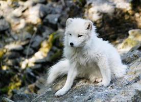 raposa do ártico foto