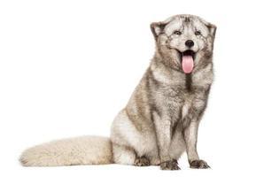 raposa do ártico, vulpes lagopus, sentado, ofegante, isolado no branco foto