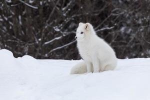 raposa do ártico no inverno foto