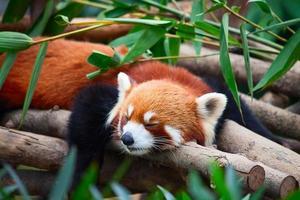 panda vermelho (firefox)