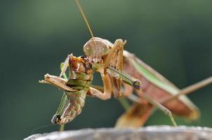 refeição do mantis foto