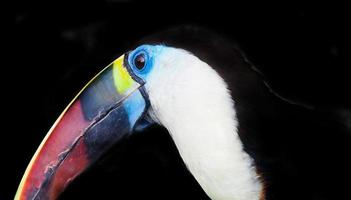 Tucano closeup retrato foto