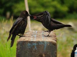 corvo kung fu foto