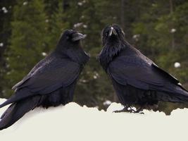 dois corvos no inverno foto