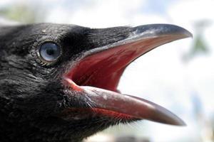 cabeça do corvo foto