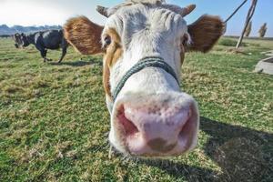vaca foto