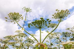 pastinaga de vaca ou o hogweed tóxico floresce contra o céu background foto