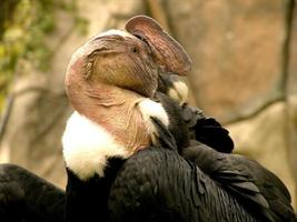 condor andino foto