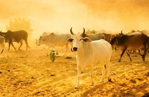 vacas pastando