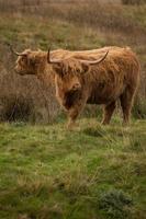 vaca das montanhas foto