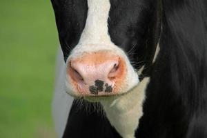 boca de vaca foto