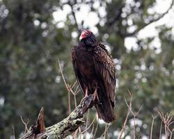 abutre de peru em formato horizontal foto