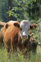 vaca jovem foto