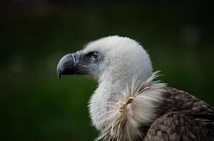 retrato de abutre griffon, espanha foto