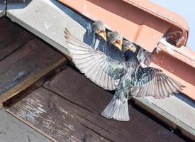 voando estorninho comum alimentando bebês foto