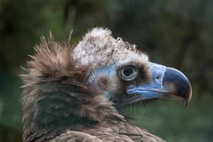 abutre-preto-eurasiático foto