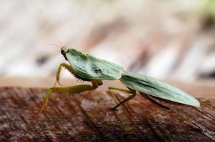 mantis (© lobke pares) foto