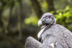 retrato de um abutre na natureza. foto