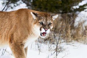 rosnando leão da montanha foto