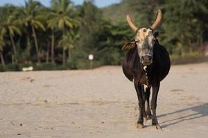 cow_gokarna_beach foto