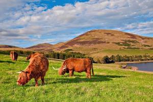 vaca angus das montanhas