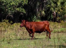 vaca correndo