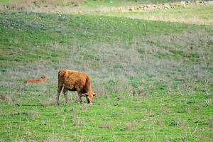vaca marrom foto