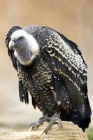 plumagem de abutre de corpo inteiro foto