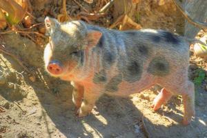porco de barriga inchada. foto
