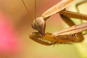 Louva-Deus (mantis religiosa) em uma folha foto