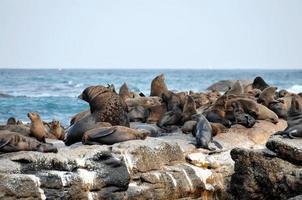 focas do cabo, ilha de focas na baía falsa foto