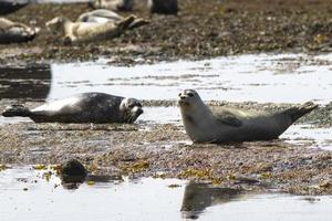 selo de porto deitado na praia na maré baixa foto