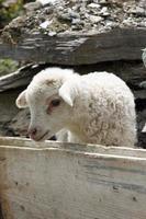 cordeiro em uma fazenda na swanetia, geórgia, europa foto