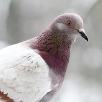 pombo de perto foto