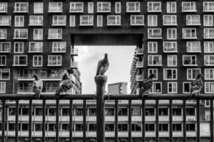 pombos urbanos foto