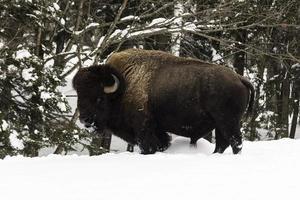 búfalo americano grande campo no inverno foto