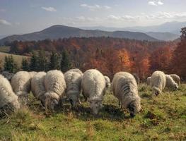 pastagens transcarpáticas no outono foto