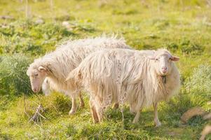 duas ovelhas opostas na grama foto