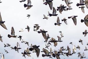 massas pombos pássaros voando no céu azul foto