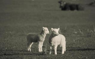 primavera cordeiro, nova zelândia, prado foto