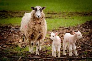 dois cordeiros com ovelha foto