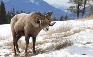 único carneiro em um campo nevado foto