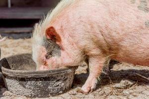 comendo porco foto