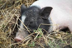 pequeno porco foto