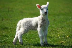 jovem cordeiro no prado verde foto