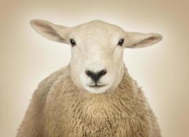 close-up da cabeça de uma ovelha, fundo creme